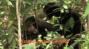 Kumala and Gendut in Enclosure C