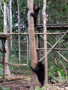 Oscar and Sibear in Training Enclosure, BOSF