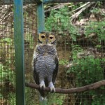 Jayan - Spotted Wood Owl
