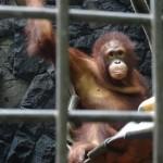 Mungil - Orangutan at WRC